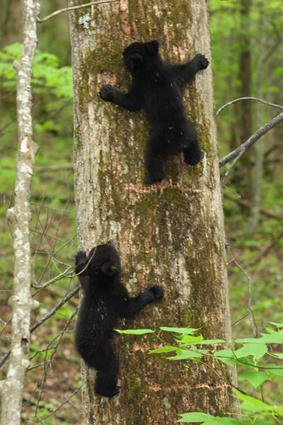 Bear Cubs At Roaring Fork Great Smoky Mountains National