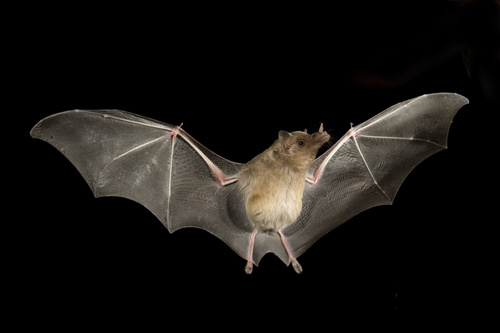 bats in the smoky mountains